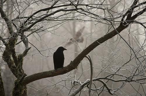 ворона на дереве