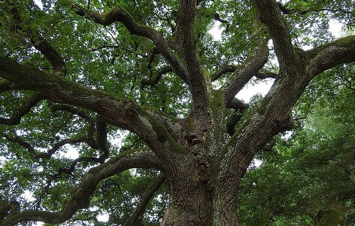 Магия деревьев. Дуб